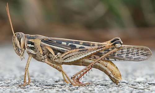 american_grasshopper01